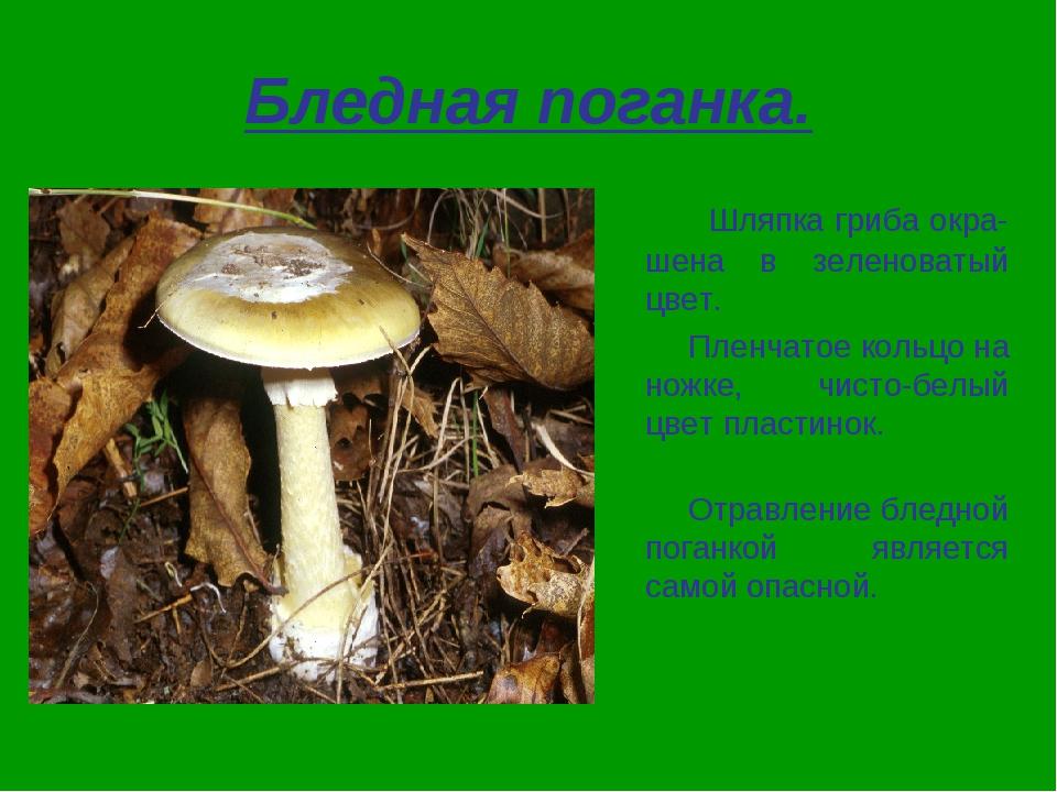Бледная поганка. Шляпка гриба окра-шена в зеленоватый цвет. Пленчатое кольцо...