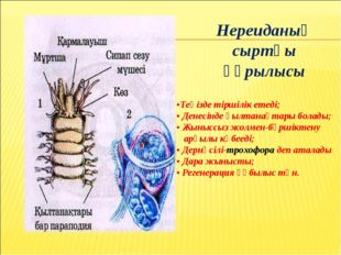 Нереиданың сыртқы құрылысы •Теңізде тіршілік етеді; • Денесінде қылтанақтары