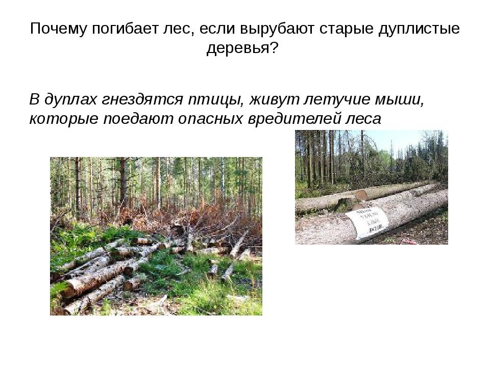 Почему погибает лес, если вырубают старые дуплистые деревья? В дуплах гнездят...
