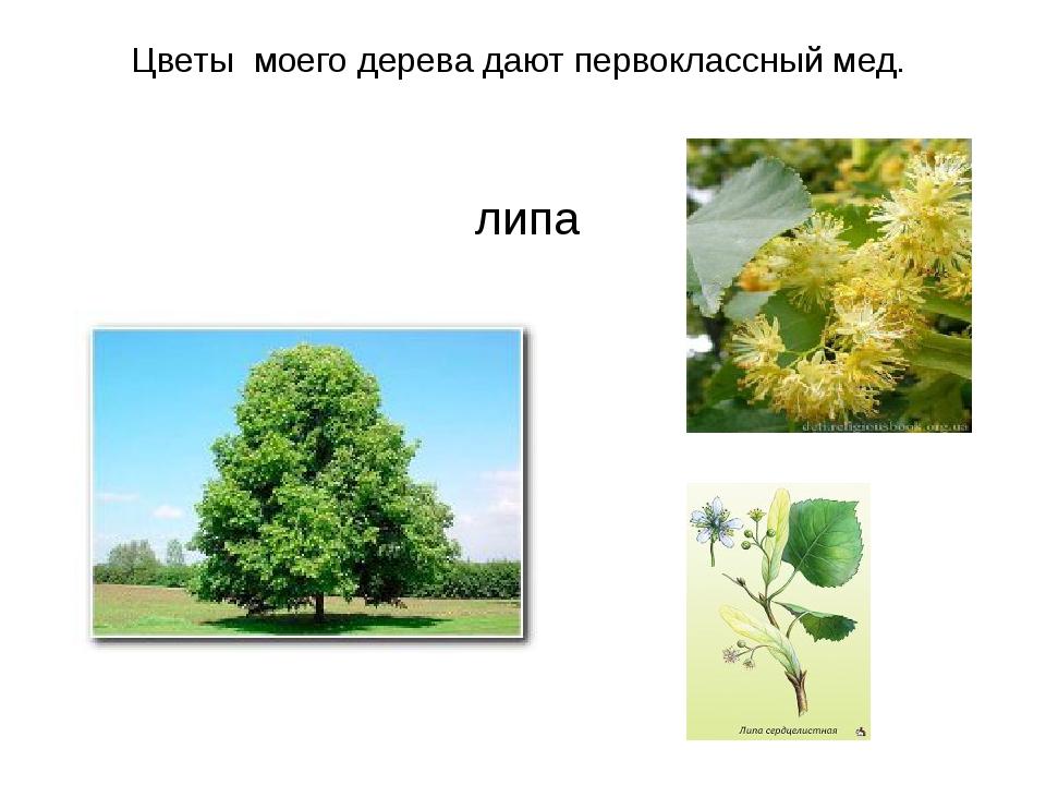Цветы моего дерева дают первоклассный мед. липа