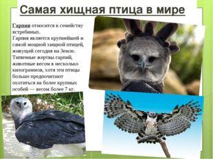 Самая хищная птица в мире Гарпия относится к семейству ястребиных. Гарпия явл
