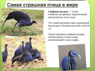 Самая страшная птица в мире Грифовая цесарка — птица семействацесарковые. Е
