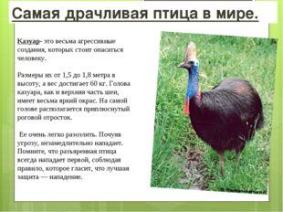 Самая драчливая птица в мире. Казуар- это весьма агрессивные создания, которы