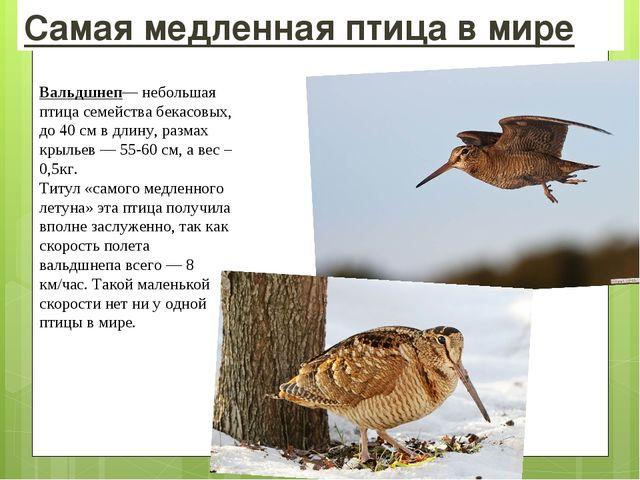 Самая медленная птица в мире Вальдшнеп— небольшая птица семействабекасовых,...
