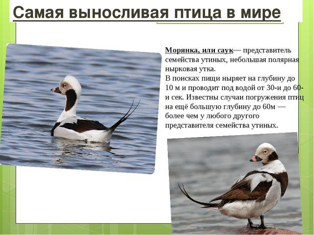 Самая выносливая птица в мире Морянка, илисаук— представитель семействаутин...