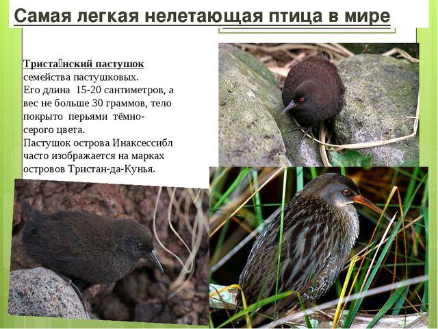 Самая легкая нелетающая птица в мире Триста́нский пастушок семействапастушко...