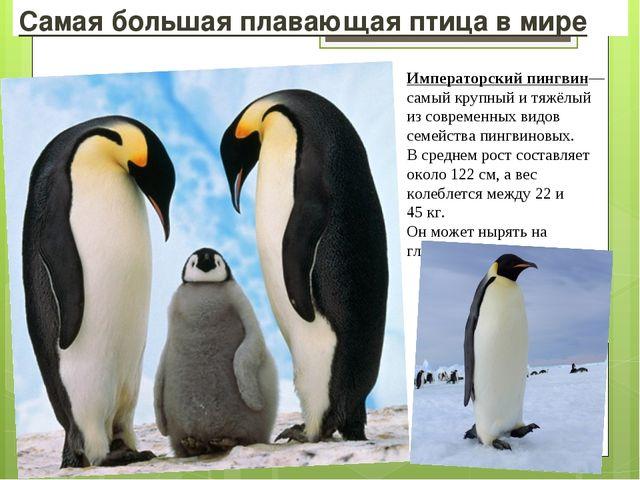 Самая большая плавающая птица в мире Императорский пингвин— самый крупный и т...