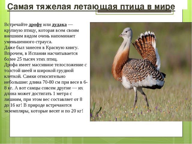 Самая тяжелая летающая птица в мире Встречайте дрофу или дудака — крупную пти...