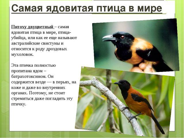 Самая ядовитая птица в мире Питоху двуцветный – самая ядовитая птица в мире,...