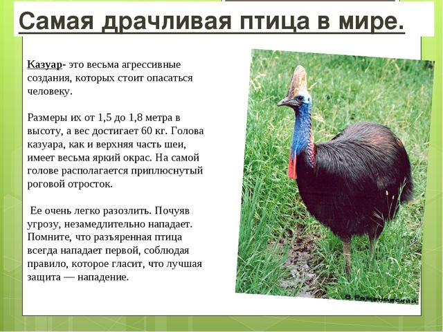 Самая драчливая птица в мире. Казуар- это весьма агрессивные создания, которы...