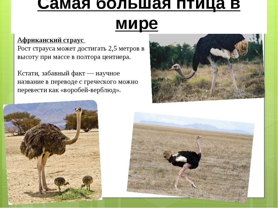 Африканский страус Рост страуса может достигать 2,5 метров в высоту при массе...