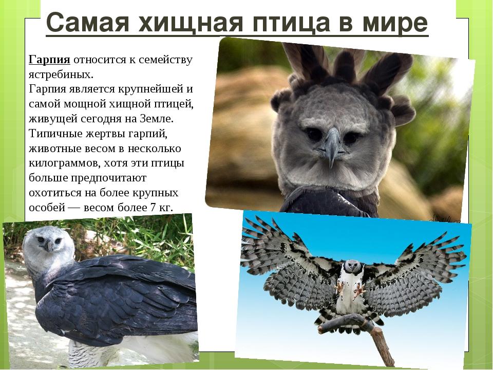 Самая хищная птица в мире Гарпия относится к семейству ястребиных. Гарпия явл...