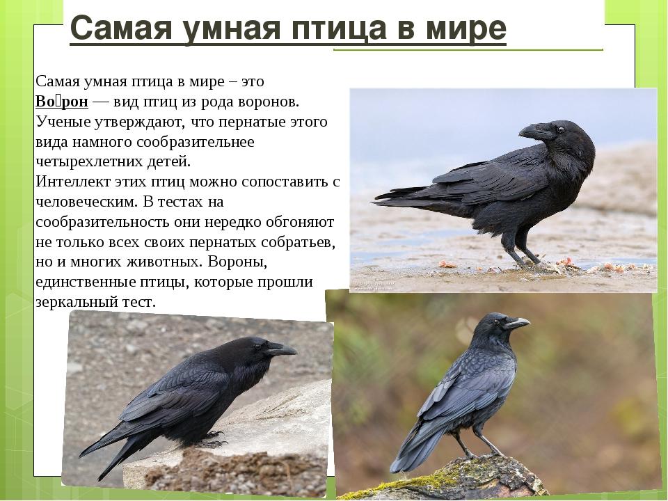 Самая умная птица в мире Самая умная птица в мире – это Во́рон—видптициз...
