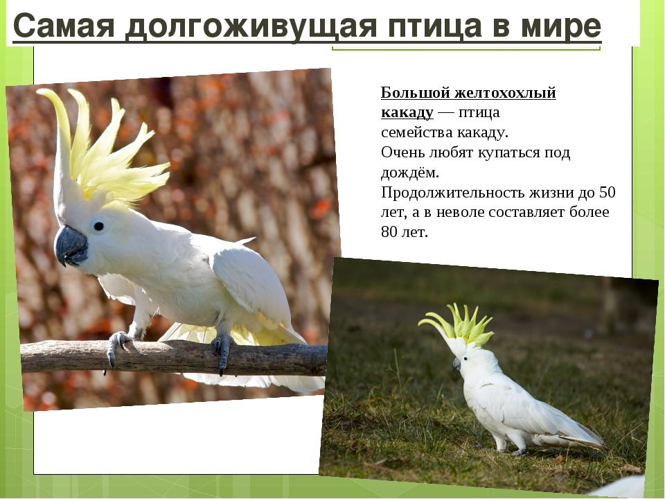 Самая долгоживущая птица в мире Большой желтохохлый какаду— птица семейства...