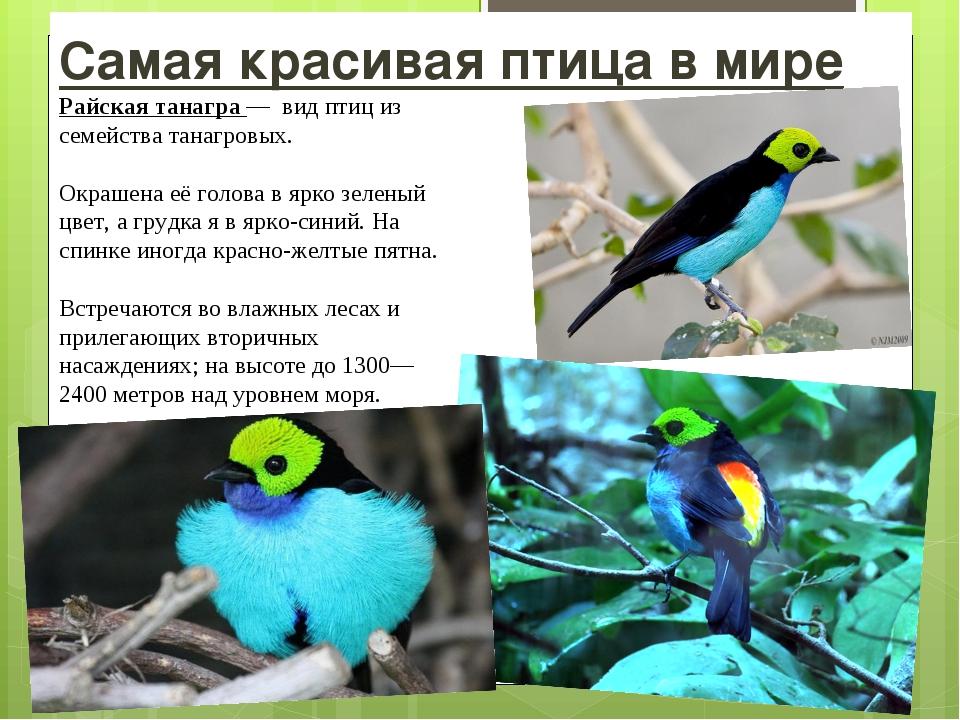 Самая красивая птица в мире Райская танагра — видптиц из семействатанагров...