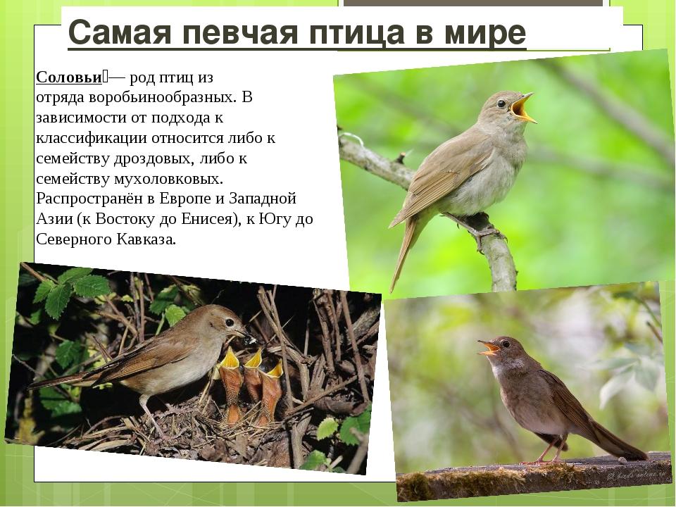 Самая певчая птица в мире Соловьи́— род птиц из отрядаворобьинообразных. В з...