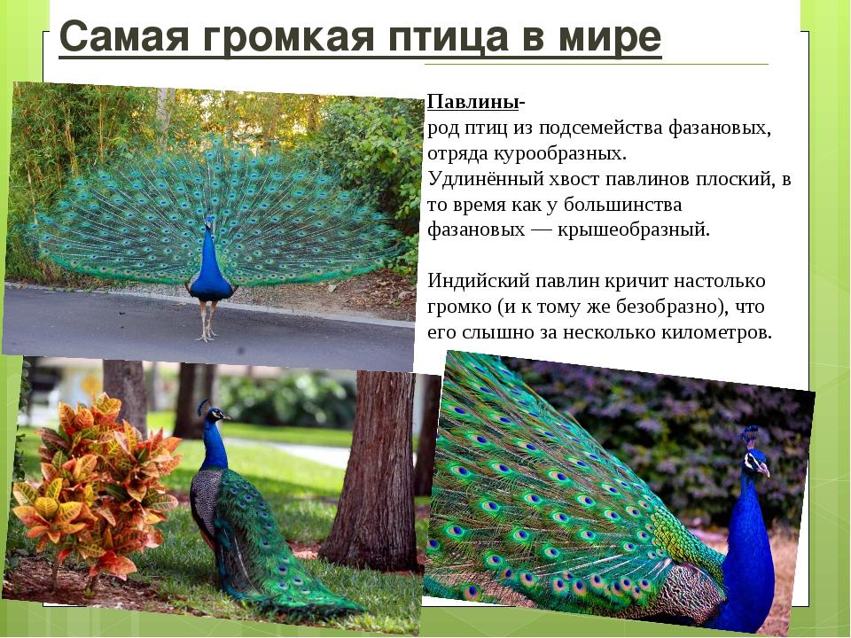 Самая громкая птица в мире Павлины-родптицизподсемействафазановых, отряд...