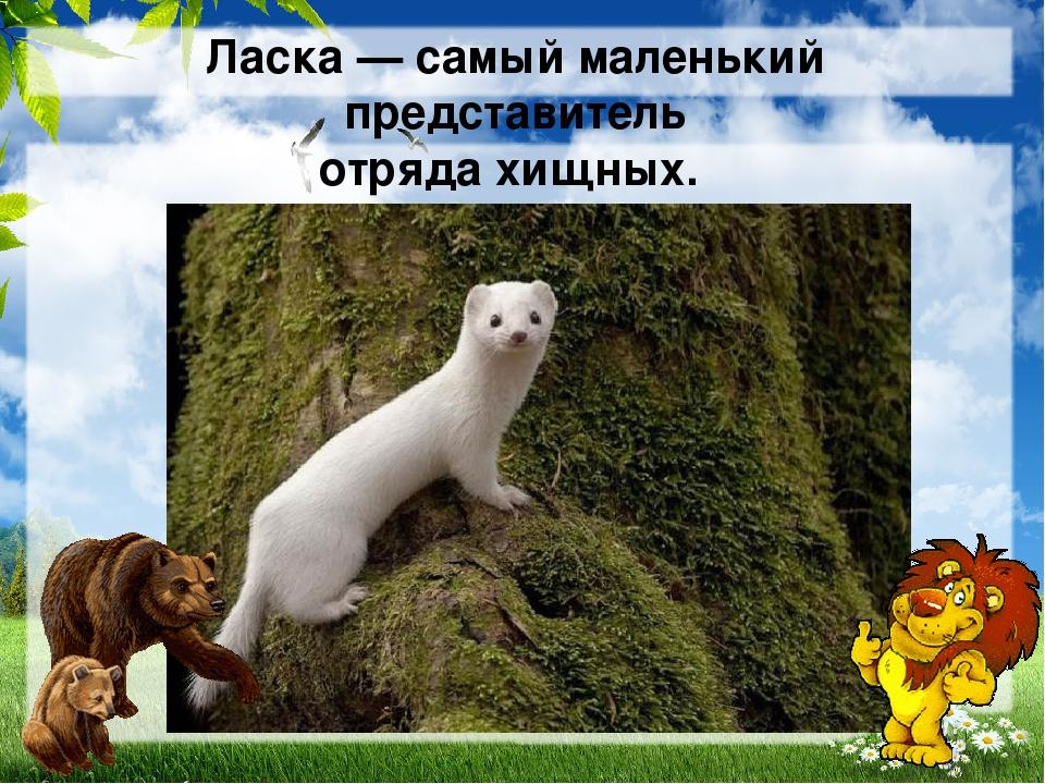 Ласка— самый маленький представитель отрядахищных.