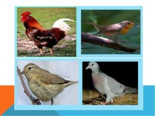 Петух- домашняя птица.