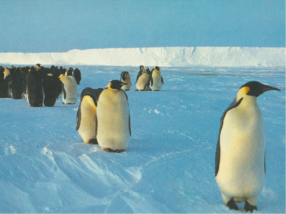 a biography of the penguin sphenisciformes a fascination to numerous people including scientists and Today, several species of penguin breed in antarctica including the emperor penguin, adélie penguin, chinstrap penguin, gentoo penguin, and macaroni penguin we know that these modern species are distantly related to the original archaic penguin inhabitants of antarctica.