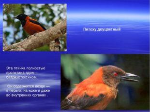 Питоху двуцветный Эта птичка полностью пропитана ядом – батрахотоксином. Он с