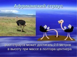 Африканский страус рост страуса может достигать 2,5 метров в высоту при массе