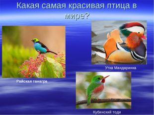 Какая самая красивая птица в мире? Райская танагра Кубинский тоди Утка Мандар