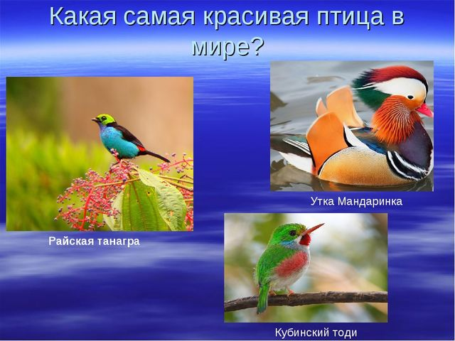 Какая самая красивая птица в мире? Райская танагра Кубинский тоди Утка Мандар...