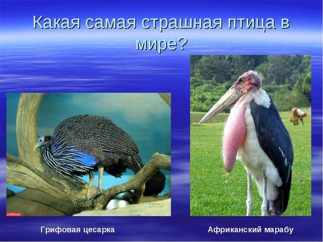 Какая самая страшная птица в мире? Грифовая цесарка Африканский марабу