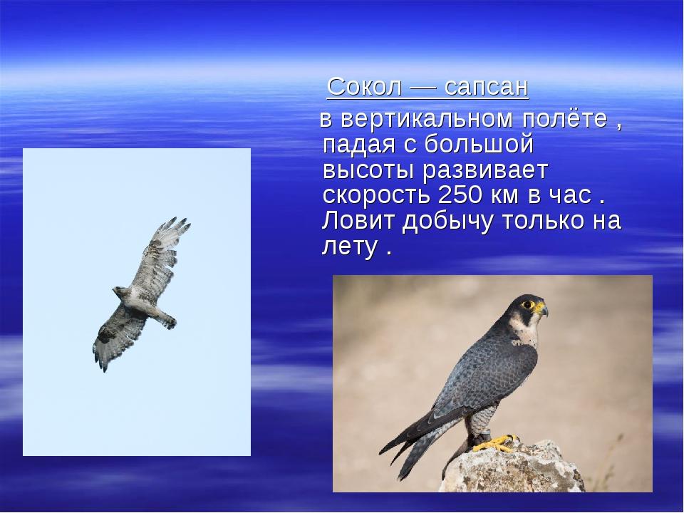 Сокол — сапсан в вертикальном полёте , падая с большой высоты развивает скор...