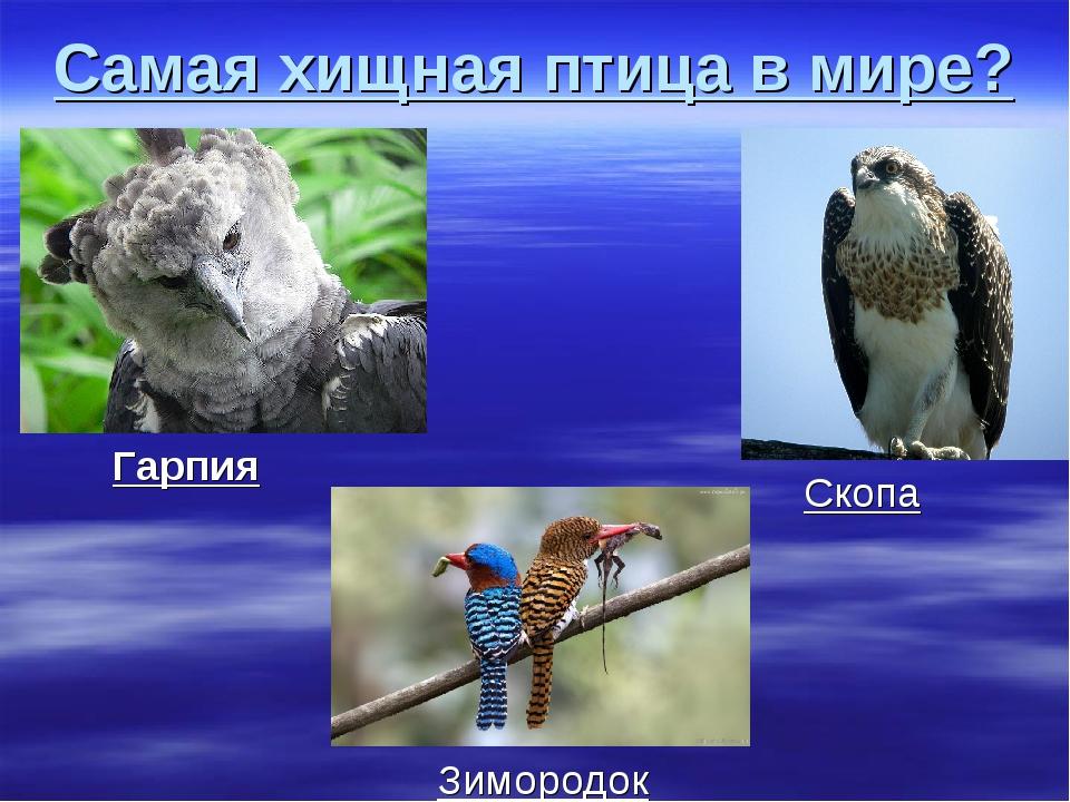 Самая хищная птица в мире? Гарпия Скопа Зимородок