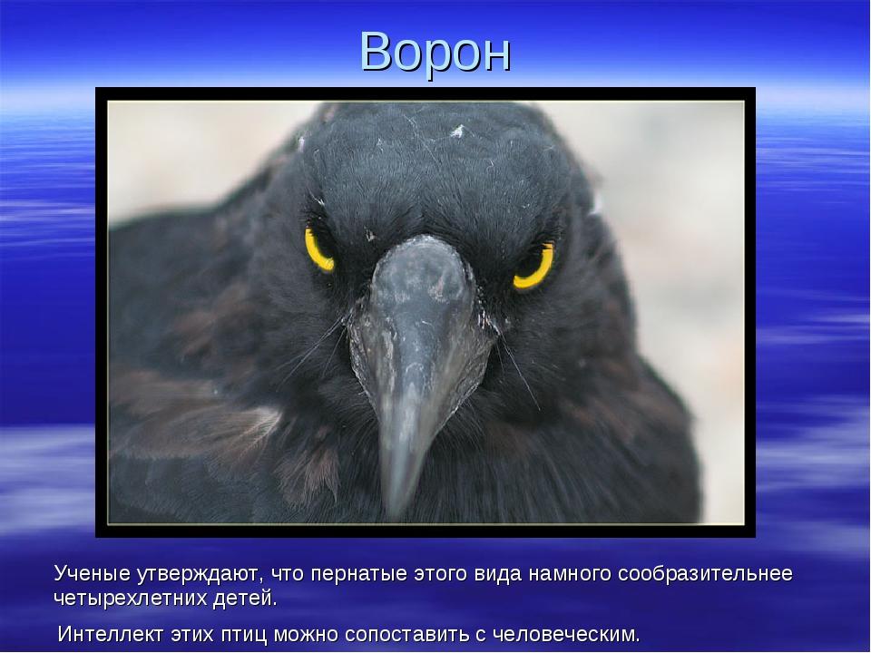 Ворон Ученые утверждают, что пернатые этого вида намного сообразительнее четы...