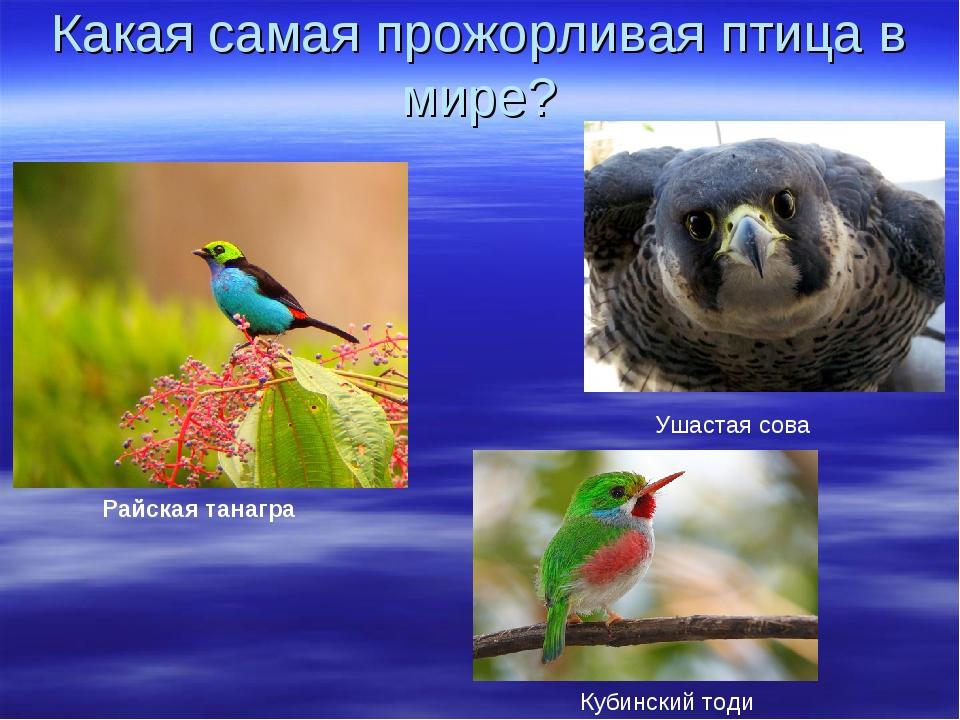 Какая самая прожорливая птица в мире? Райская танагра Кубинский тоди Ушастая...