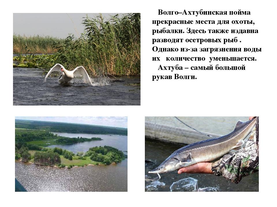Волго–Ахтубинская пойма прекрасные места для охоты, рыбалки. Здесь также изд...
