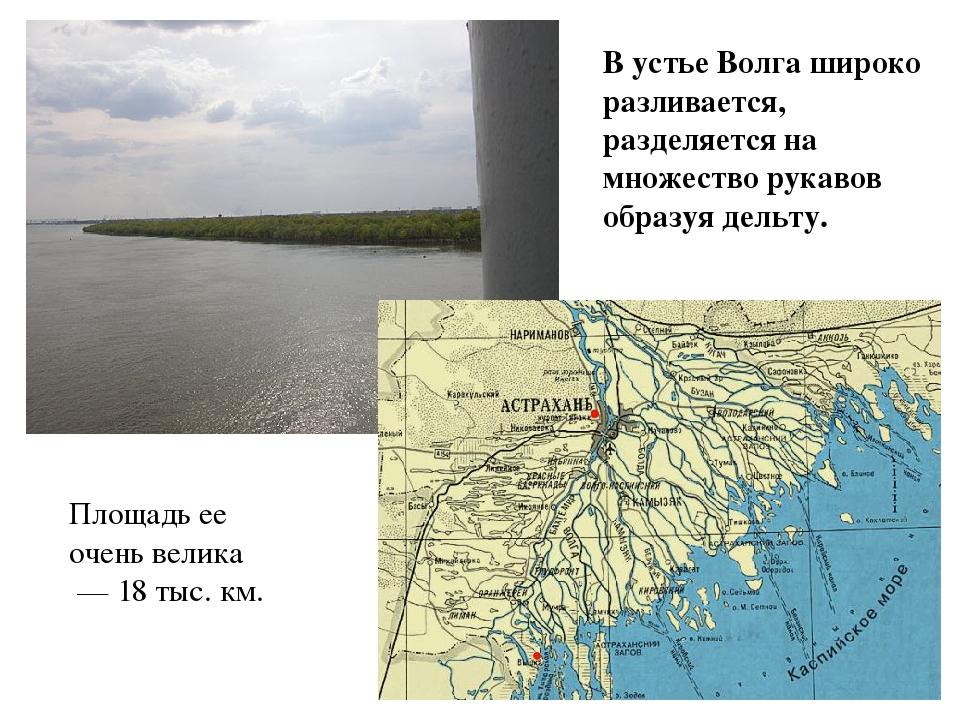 В устье Волга широко разливается, разделяется на множество рукавов образуя де...