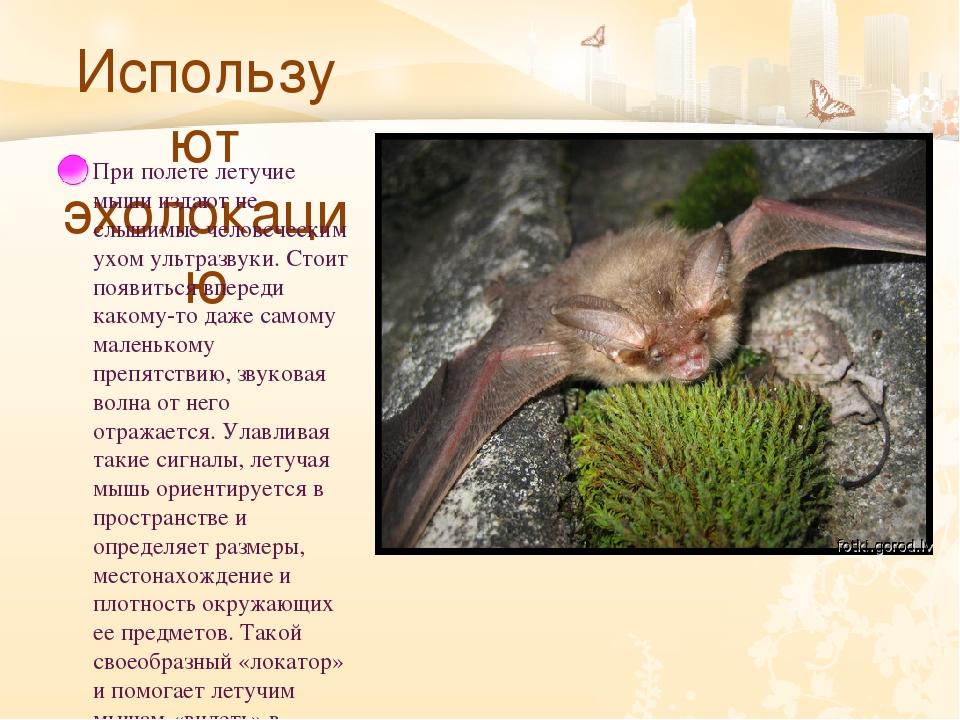 Используют эхолокацию При полете летучие мыши издают не слышимые человечески...