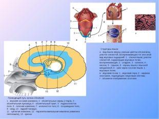 Проводящий путь органа обоняния: 1- верхняя носовая раковина; 2 - обонятель