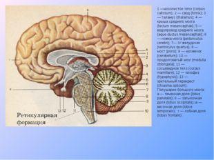 1 —мозолистое тело (corpus callosum); 2 — свод (fornix); 3 — таламус (thalamu