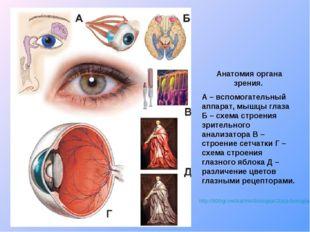 http://900igr.net/kartinki/biologija/Glaza-biologija/004-Anatomija-organa-zre