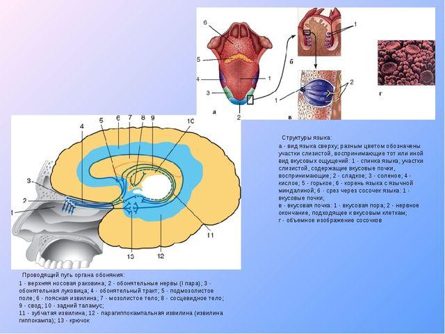 Проводящий путь органа обоняния: 1- верхняя носовая раковина; 2 - обонятель...
