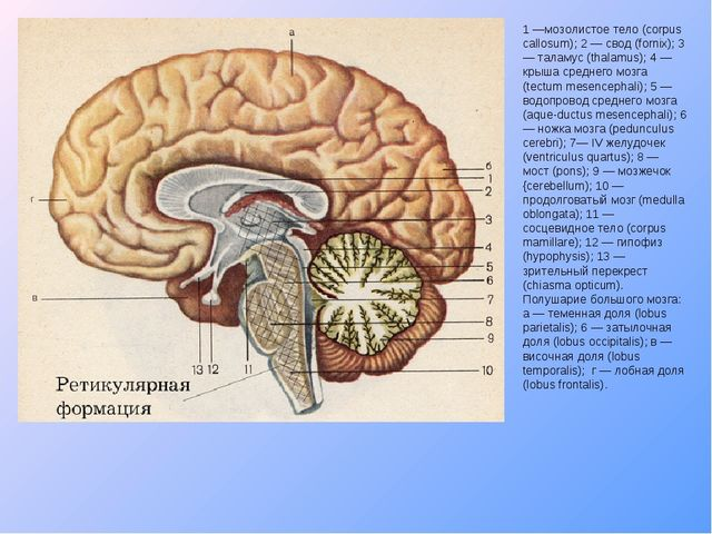 1 —мозолистое тело (corpus callosum); 2 — свод (fornix); 3 — таламус (thalamu...