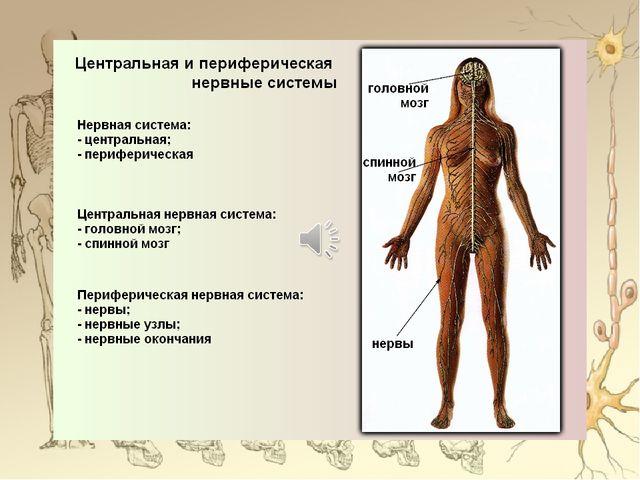 Функции нервной системы Согласование работы всех органов и систем организма;...