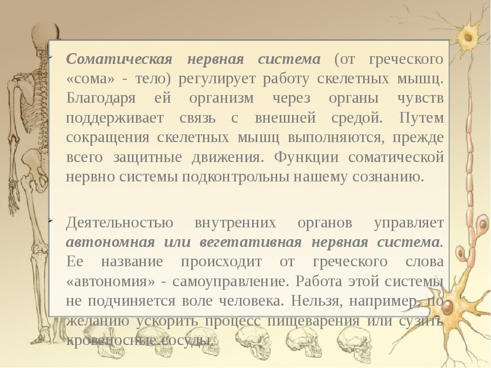 Соматическая нервная система (от греческого «сома» - тело) регулирует работу...