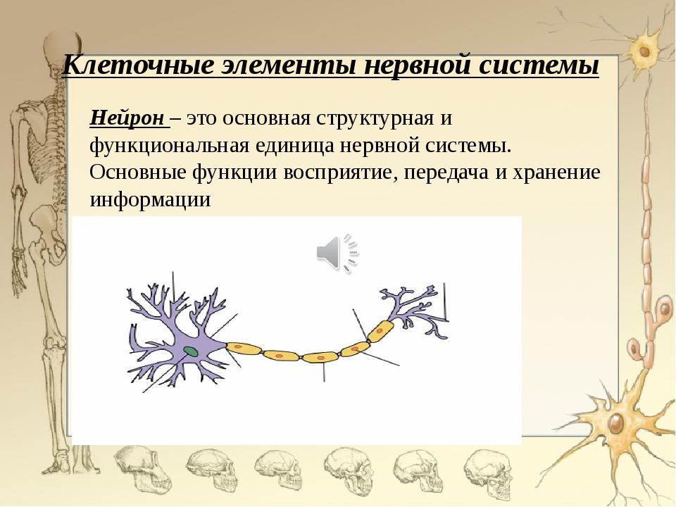 Клеточные элементы нервной системы Нейрон – это основная структурная и функци...