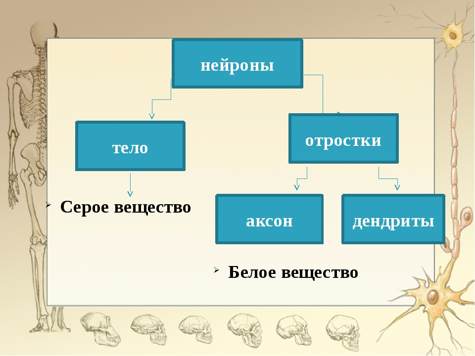 нейроны тело отростки Серое вещество аксон дендриты Белое вещество