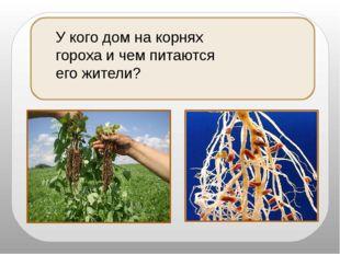 У кого дом на корнях гороха и чем питаются его жители?