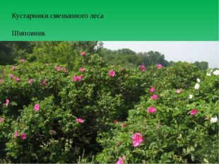 Кустарники смешанного леса Шиповник