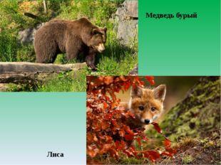 Медведь бурый Лиса