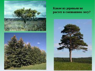 Какое из деревьев не растет в смешанном лесу?