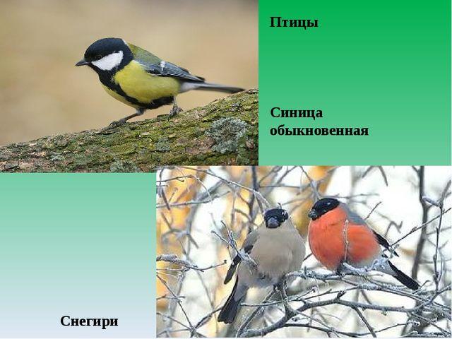 Птицы Синица обыкновенная Снегири